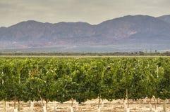 Yards de vigne dans Cafayate images stock