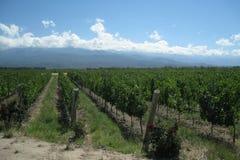 Yards de vigne dans les Andes Photographie stock
