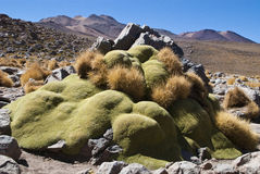 Yareta Royalty Free Stock Photos