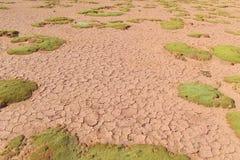 Yareta, Azorella compacta on altiplano desert red dry soil Royalty Free Stock Photos