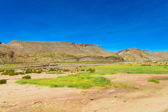 Yareta, Azorella compacta plant on altiplano desert red dry soil Royalty Free Stock Photo