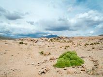 Yareta i Bolivia Arkivbilder