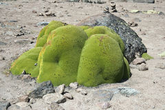 Yareta Plant, Andes. Yareta or llareta is an extremely slow-growing green moss like plant found in the arid altiplano region of the Andes, many over 3000 years stock photography