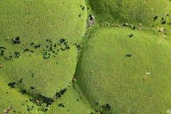Yareta plant (Azorella compacta) in salar de surire national park Stock Photography