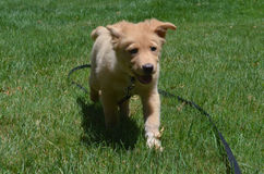 Yarmouth Toller Puppy Dog Running Through Grass on A Leash Royalty Free Stock Photo