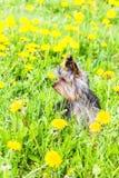 Yarn york terrier Stock Photography