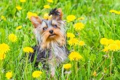Yarn york terrier Royalty Free Stock Image