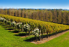Yarra Valley Royalty Free Stock Photography