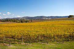 Yarra Valley Vines in Autumn Royalty Free Stock Photography