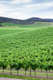 Yarra Valley Vines Royalty Free Stock Photos