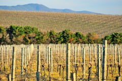Yarra Valley vineyard. Wine grape preparation on wine range Stock Images