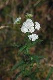 Yarrow – Achillea millefolium. White yarrow – Achillea millefolium in summer stock images