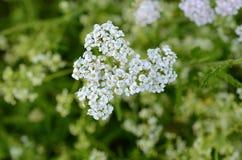 Yarrow λουλούδι Στοκ Εικόνες