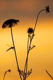 Yarrow στον ήλιο Στοκ Φωτογραφίες