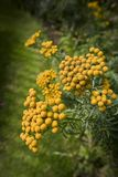 Yarrow φύλλων φτερών με τα στρογγυλευμένα κίτρινα λουλούδια Στοκ Φωτογραφία