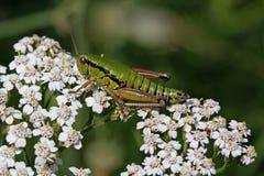 yarrow Италии grashopper цветка achillea Стоковая Фотография