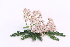 Yarrow Royalty Free Stock Photos