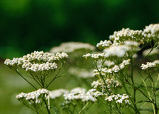 Yarrow. Achillea millefolium on blurry background Stock Image