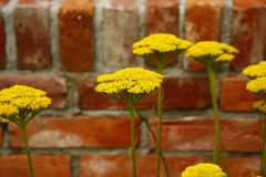 Yarrow Royalty Free Stock Photography