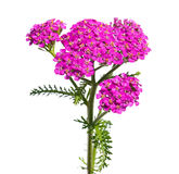 Yarrow Stock Photography