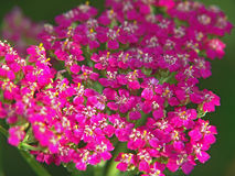 yarrow Royaltyfria Bilder
