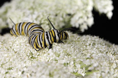 Yarrow. A monarch caterpillar crawling over the top of a yarrow flower stock photos