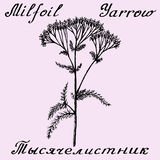 Yarrow Achillea βοτανική απεικόνιση σκίτσων millefolium συρμένη χέρι Στοκ Εικόνα