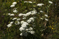Yarrow Achillea-collina Stockfotos