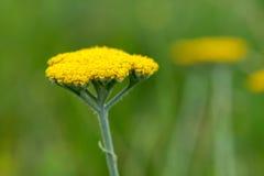 Yarrow Achillea Filipendulina Flower Detail Lizenzfreie Stockfotos