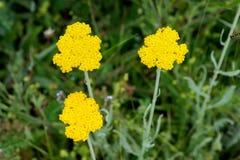 Yarrow Achillea Filipendulina Flower Detail Lizenzfreie Stockbilder