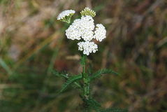 Yarrow – Achillea millefolium Stock Photography