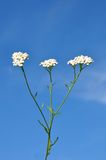 Yarrow (Achillea millefolium) Royalty Free Stock Photo