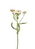 Yarrow (Achillea millefolium). Colorful and crisp image of yarrow (Achillea millefolium royalty free stock photo