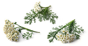 Yarrow (Achillea Millefolium). Branch of yarrow on white stock photos