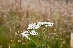 Yarrow Achillea-millefolium Stockfoto