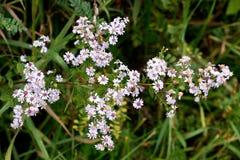 Yarrow Achillea-millefolium Asterfamilie Asteraceae Lizenzfreies Stockbild