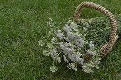 Yarrow - Achillea millefolium. Collected for drying in decorative wicker basket Royalty Free Stock Photo