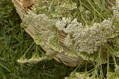 Yarrow. Achillea millefolium collected for drying in decorative wicker basket Stock Photo