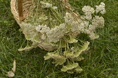 Yarrow. Achillea millefolium collected for drying in decorative wicker basket royalty free stock image