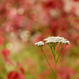 Yarrow - Achillea millefolium flowers Royalty Free Stock Images