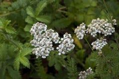 Yarrow (Achillea millefolium). Plant medicine. yarrow with leaves (Achillea millefolium stock photos