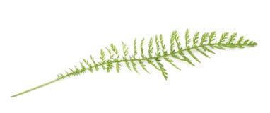 Yarrow (achillea millefolium). Yarrow sprig (achillea millefolium) on white background stock images