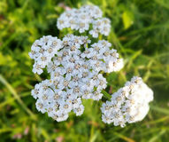 Yarrow Achillea millefolium. Wild plant used in traditional medicine Royalty Free Stock Photography