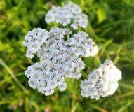 Yarrow Achillea-millefolium Wilde die installatie in traditionele geneeskunde wordt gebruikt Royalty-vrije Stock Fotografie