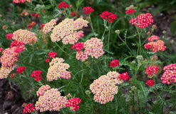 Yarrow (Achillea) Stock Photography