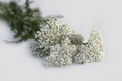 Yarrow Royalty Free Stock Images