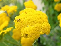 Yarrow bloom detailed Royalty Free Stock Photos