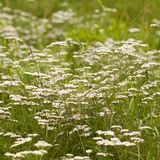 Flowering yarrow blossoming in a summer field or on a meadow. Yarrow blooming in a summer field or on a meadow stock images
