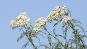 Yarrow blooming to the left Stock Image