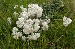 Yarrow. Bouquet of wild, white, meadow flowers - gathered yarrow laying on green grass stock photos
